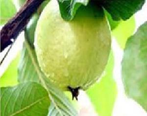 Fresh Natural Guava