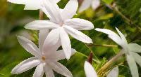 Jasmine Flower Plant