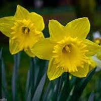 Fresh Daffodil Flowers