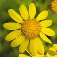 Fresh Ragwort Flowers