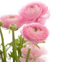 Fresh Ranunculus Flowers