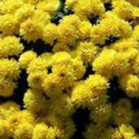 Fresh Achillea Flowers
