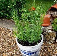 Graecume Herbal Seeds