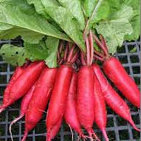 Fresh Red Radish