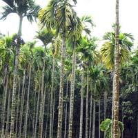 Areca Palm Plates