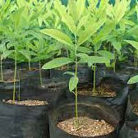 Green Sandalwood Plants