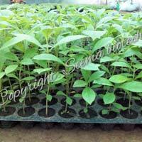 Net Pot Teak Plants