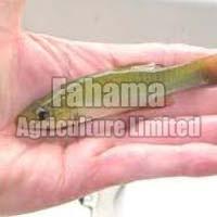Frozen Finger Sized Fish