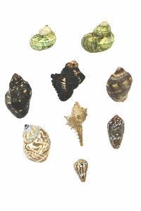 Multiple Sea Shell With Lord Ganeshji