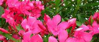 Fresh Oleander Flowers