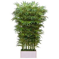 Bamboo Exclusive- In Wooden Pot -3'