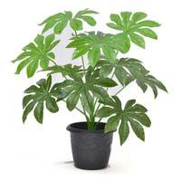 Papiya Mini Plant 15