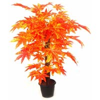 Sugar Maple Plant -2'