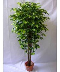 Ficus Benjamin Plant