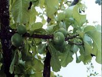 Baikumbha Fruit