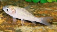 Catla Fish Seed