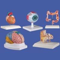 Biological Lab Models