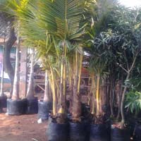 Tall Coconut Plants