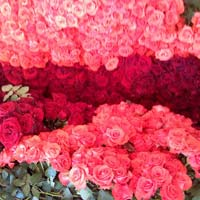Dutch Rose Flower