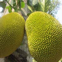 Fresh Jackfruits
