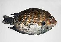 Frozen Karimeen Fish
