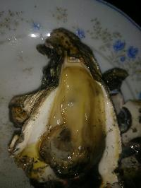 Live Oyster Clam