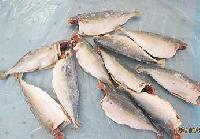 Frozen Dressed Mackerel Fish