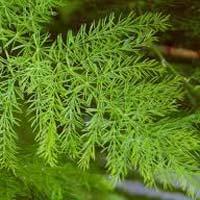 Shatavari Herbs