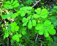 Cassia Tora Leaves