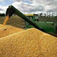 Pure White And Yellow Corn For Human And Animal Or Oil Production