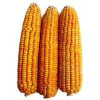 Hybrid Corn