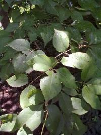 Capparidaceae Plant