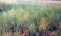 Chandrasur Plant - Lepidium Sativum