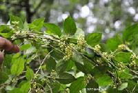 Gymnema Sylvestre Plant