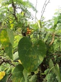 Tinospora Cordifolia Plant