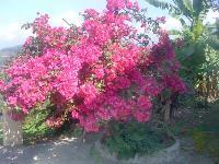 Bougainvillea Thimma