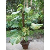 Epipremnum Aureum Ivy