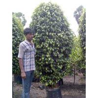 Ficus Blaki (Shape)
