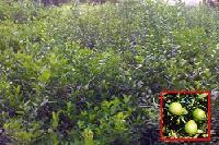 Lamon (acid Fruit)