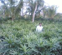Rabish Palm