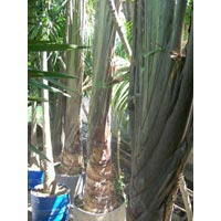 Travellar Palm