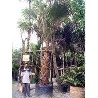 Washingtonia Filifera,Palm
