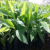 Banana Tissue Culture Raised Plants
