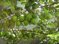 Guava Plants