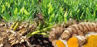 Turmeric Farming Services
