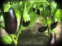 Vegetable Plants Supplier