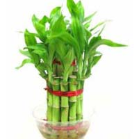 Lucky Bamboo Plants