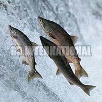 Frozen Indian Salmon Fish