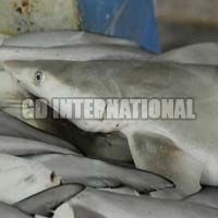 Frozen Milk Shark Fish