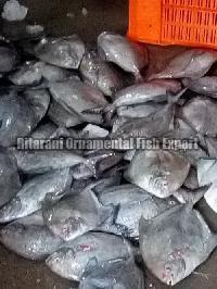 Live Black Pomfret Fish